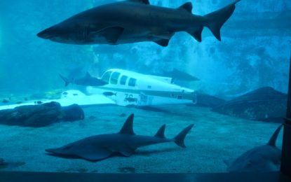 """An """"Aeroplane"""" Landed in the Shark Exhibit"""