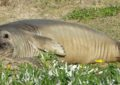 Jello is feeling mellow – the southern male elephant seal