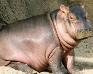 Born Free calls on Zambian government to call off cull of 1,250 hippo